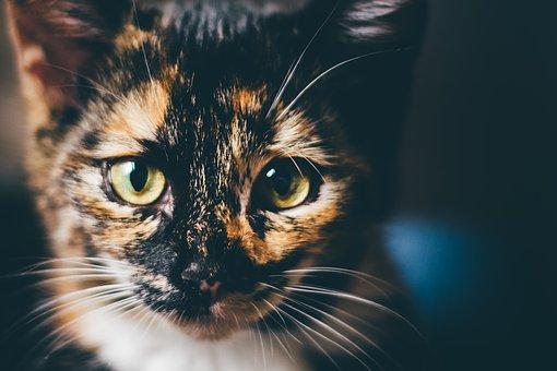 velká holka chlupatá kočička