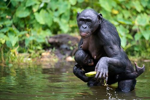 nošení opičích mláďat