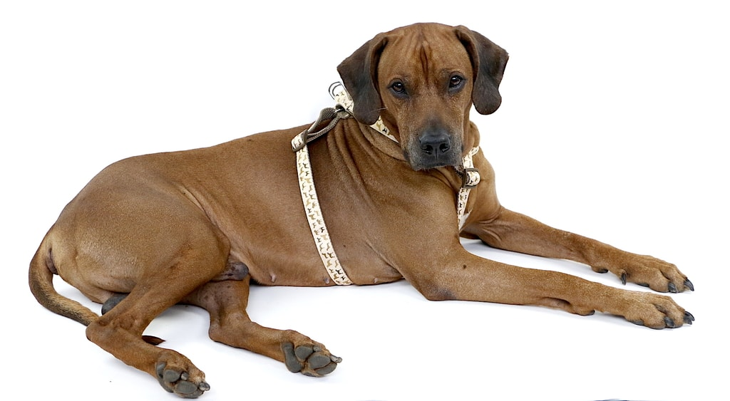 Aminela postroj série Doggies, vel.S