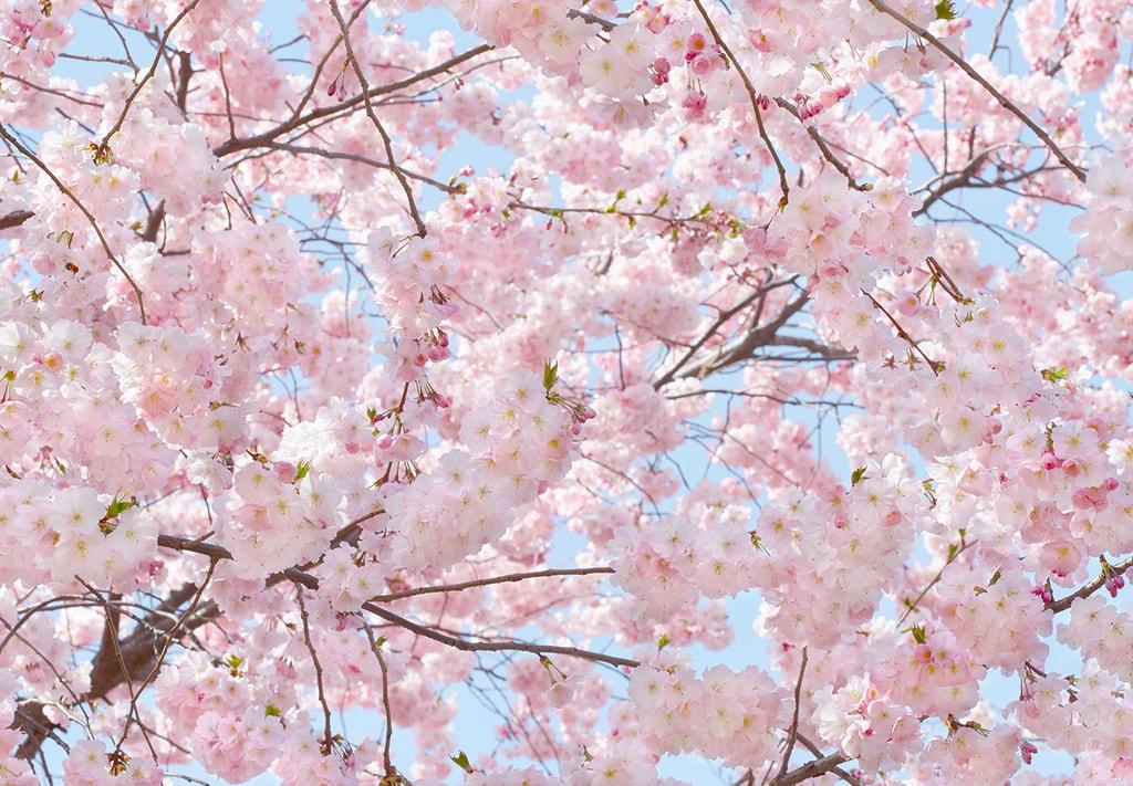 Cherry kvety datovania prihlásiť