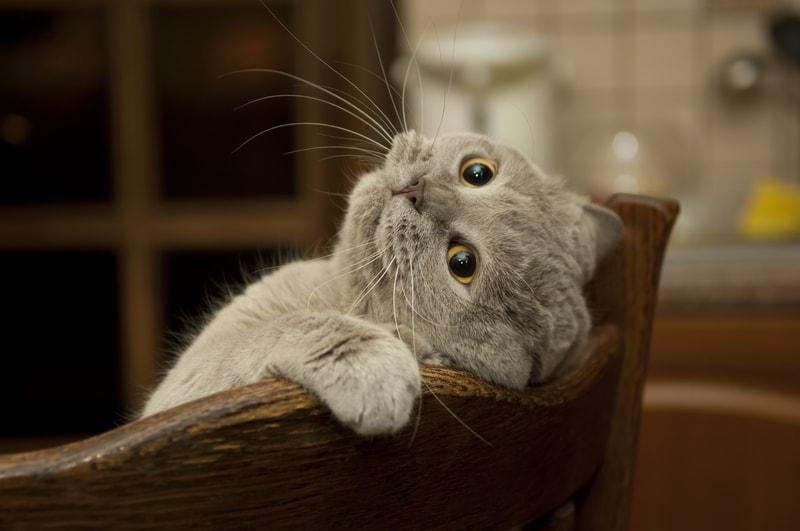 Oholit kočička