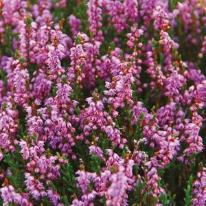 HEATHER AND WILD BERRIES REED DIFFUSER, SCOTLAND - REED-DIFFUSOREN{% if kategorie.adresa_nazvy[0] != zbozi.kategorie.nazev %} - AROMATHERAPIE{% endif %}