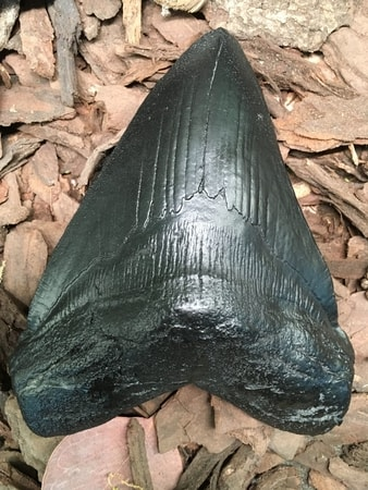 CARCHAROCLES MEGALODON, shark tooth