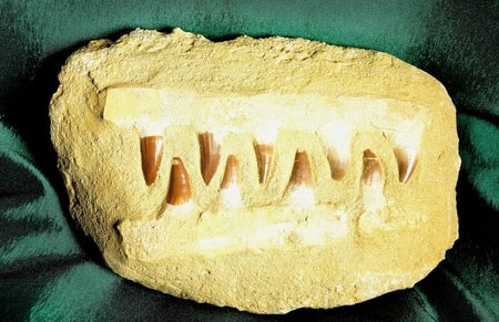 JAW OF Mosasaurus Anceps MOSASAUR FOSSILS